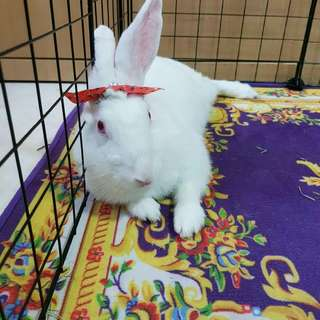Professional rabbit grooming (free transportation islandwide for housecalls)