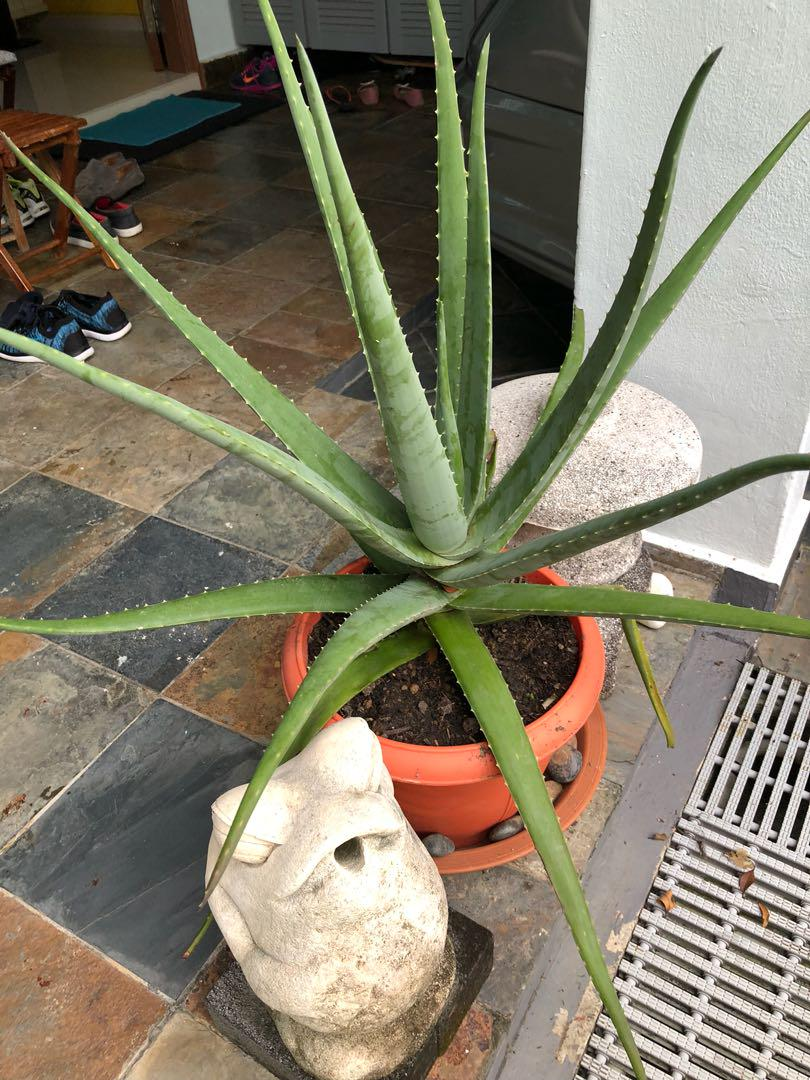 Large Healthy Aloe Vera Plant Gardening Plants On Carousell
