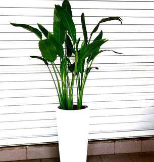 天堂鸟 Bird of Paradise (Strelitzia) in white ceramic pot