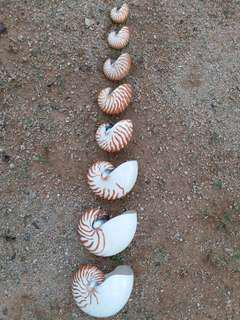 鸚鵡螺(Nautilus) 已在地球上經歷數億年演變,被稱作海洋的「活化石」。 早已成為國家一級保護動物。 紋理清晰、完美無瑕的寶貝由小至大不同地排列著,非常艷麗漂亮,令人賞心悅目,愛不釋手。 收藏貝殼者夢寐以求之極品。「只供欣賞與分享」「Sharing Only Not For Sale]