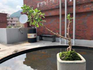 🚚 盆栽/盆景/植物/六月雪