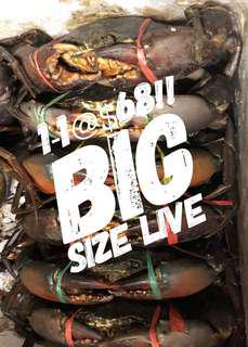 1-1 BIG LIVE MUD CRABS