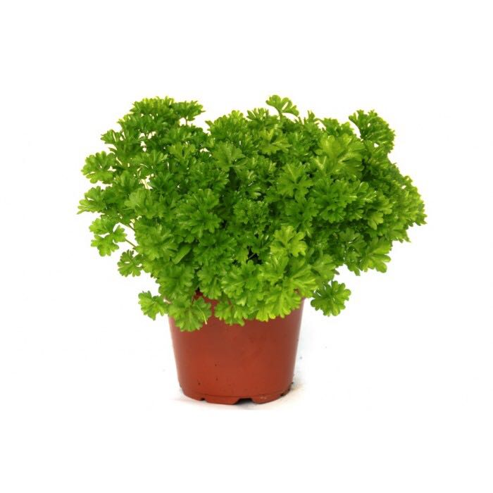 """Picture of 2 (TWO) Live Parsley Curled aka Petroselinum crispum Herbs Plant Fit 3.5"""" Pot"""