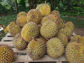 A Grade Musang wang durians
