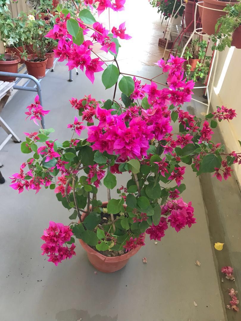 Beautiful big pot of pink bougainvillea( free delivery)