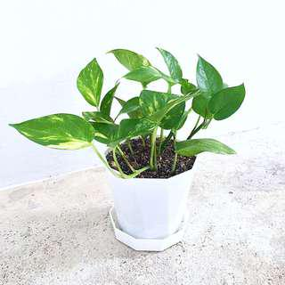 🌿 Potted Golden Pothos / Money Plant | Great Air Purifying Houseplant!! 🌿