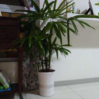 Monkey Palm
