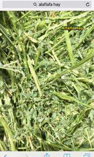 Sweet ALFALFA HAY for Baby and Nursing Rabbit n GPs