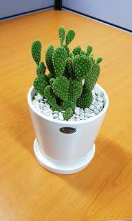 Plant - Cactus in porcelain pot w pebbles