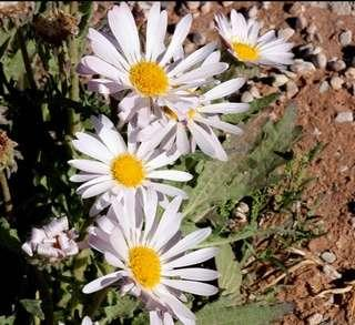 White African Daisy Flower Seeds