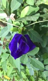 多瓣蝶豆 Double and Triple flowering Blue Butterfly Pea