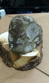 🚚 扇貝化石