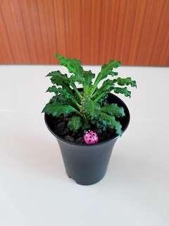 Succulents Euphorbia Dercayi for offce!