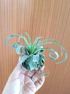 Air Plant Streptophylla for gift!