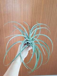 Air Plant capitata silver rose for sale!