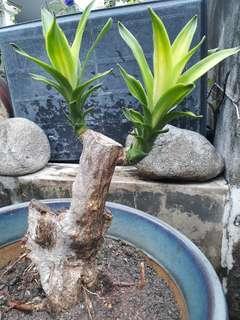 Iron tree(tit shu)
