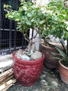 Red dragon pot with camelion plant