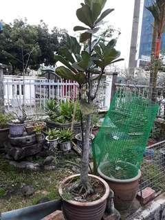 Ficus lyrata (good charm)