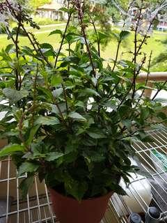 KUMIS KUCING/MISAL KUCING READY TO CONSUME AS HERB @$12/POT The plant is a medicinal herb found mainly throughout Southern China.It's known as Kumis Kucing in Indonesia and misal kucing In Malaysia. (Orthosiphon Aristatus)