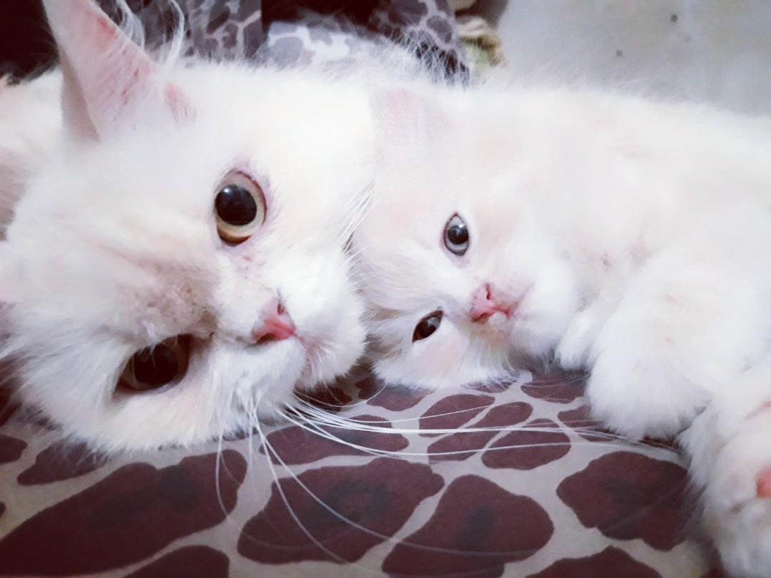Kucing Persia Mix Mainecoon Perlengkapan Hewan Makanan Hewan Di Carousell