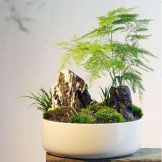This Month Special Bonsai: Asparagus Fern White Pot