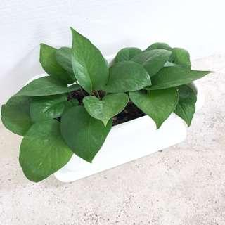 🌿 Potted Green Jade Pothos / Money Plant | Great Air Purifying Houseplant!! 🌿