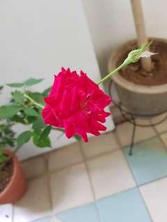 Kampong rose plant
