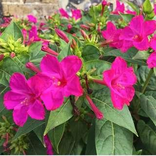 Yellow and Pink Four O' Clock flower seeds (Mirabilis jalapa)