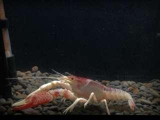 瘋蝦子Crazy shrimp幽靈螯蝦/泰系幽靈公蝦