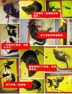 Strong glue mouse trap lizard trap