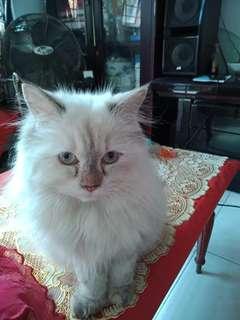 Kucing Persia (siam)