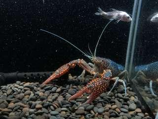 瘋蝦子Crazy shrimp幽靈螯蝦/藍美螯