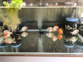 福州蘭壽金魚一隻