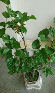 Mulberry plants fruiting profusely