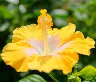 Yellow Giant Hibiscus Flower Seeds