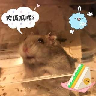小動物零食 瓜子20g (大粒裝)