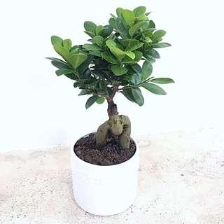 Modern Indoor Bonsai Ficus Ginseng (榕树)