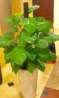 Philodendron (Money Plant) in white ceramic pot