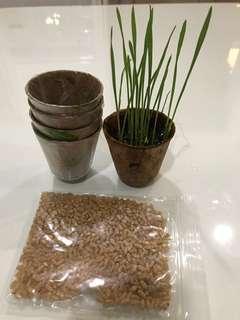 Wheatgrass starter kit