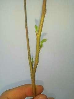 [1 PC ONLY] GARDENING - UNROOTED But Growing-New-Shoots/Leaves Mulberry Stick For Sale