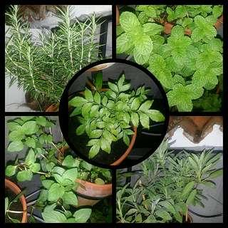 [BUNDLED DEAL] GARDENING - 4 Cuttings & 1 Plant For Sale