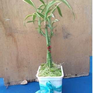 give away fortune plant