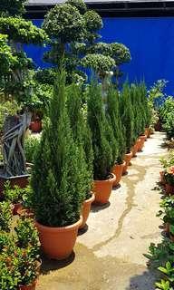 Plant - Pencil Pine Tree 🌲 ($38/$68/$118)
