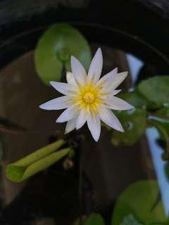 Water Lily with flower (Plant only)