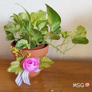VARIEGATED MONEY PLANT IN A HANDMADE CLAY POT