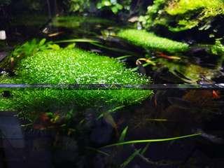 Aquatic plant - Riccia Fluitans