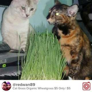 Cat grass wheatgrass