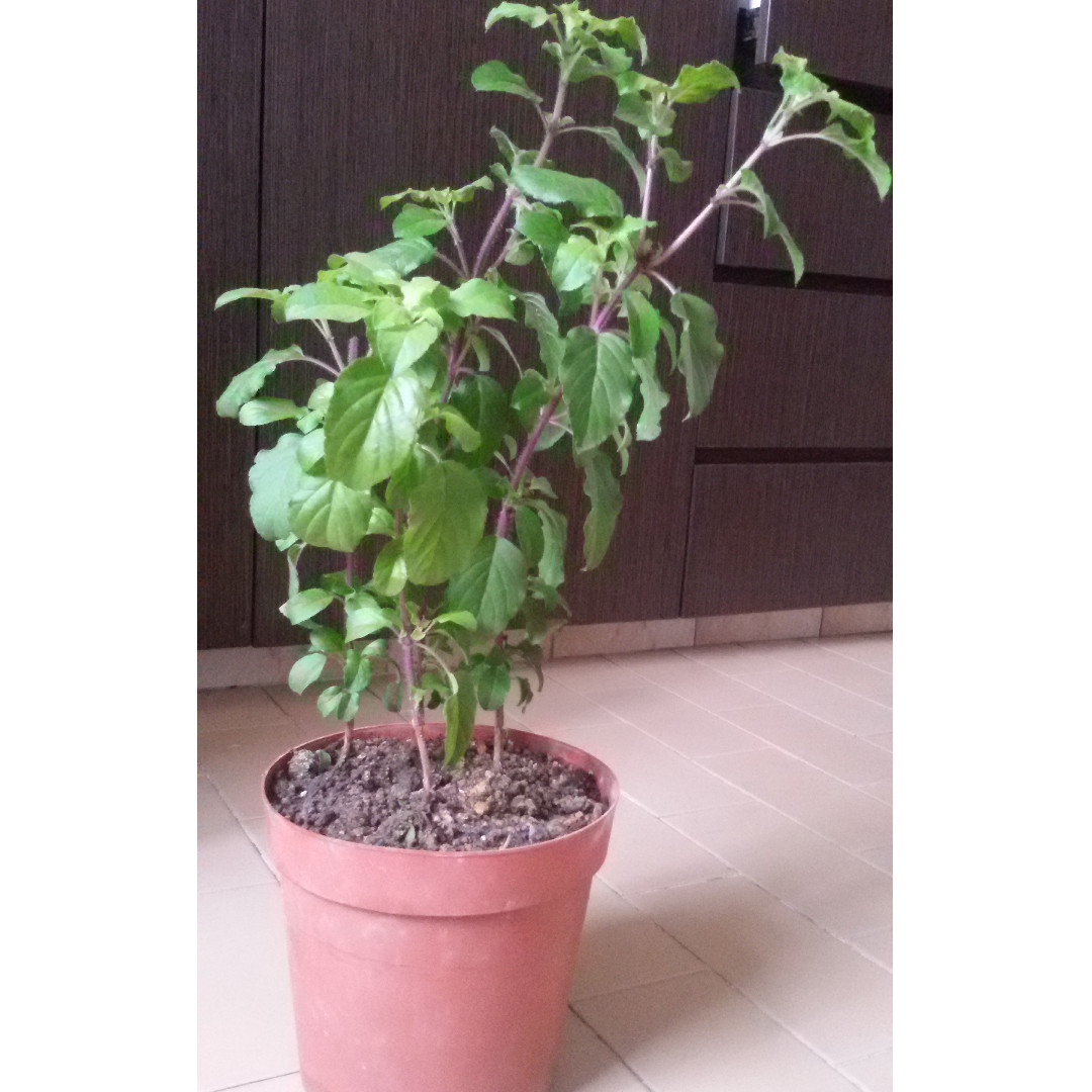 Moving out sale,Clearance ,CNY,garge,Jasmine plant, Horticulture, soil,  garden, soil, gardening, tree, bonsai, nursery, flowers,gifts (Not