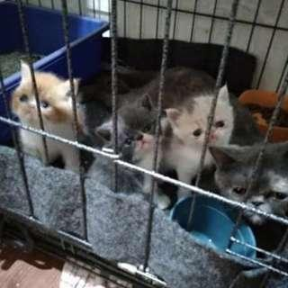 Kitten lucu exotic peak SH