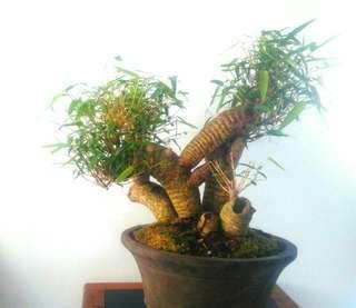 Bonsai Bambu Kuning